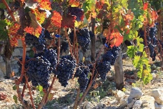 vignes vin