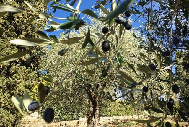 arbre olive